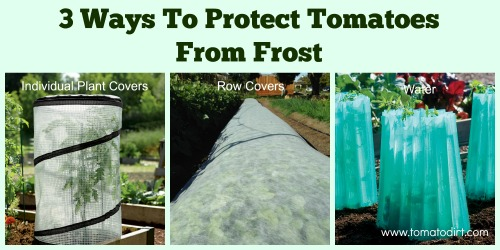 3 kinds of frost protection for tomatoes with Tomato Dirt