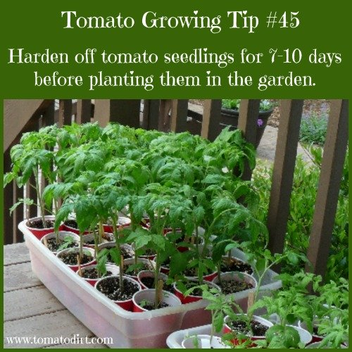 Tomato Growing Tip #45: harden off tomato seedlings for 7-10 days before planting and other helpful gardening tips for tomatoes with Tomato Dirt #growingtomatoes