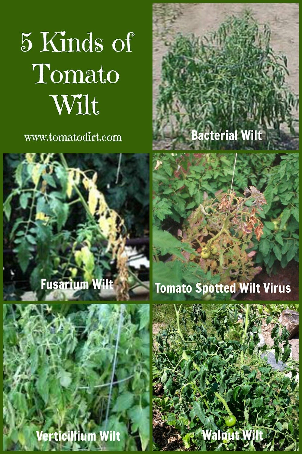 Compare 5 kinds of tomato wilt as you're identifying tomato diseases with Tomato Dirt