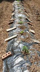 black plastic warms the soil for tomatoes