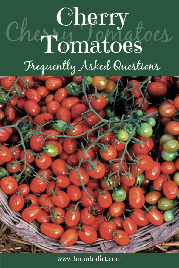 Cherry Tomatoes FAQs with Tomato Dirt #homegardening #growingtomatoes