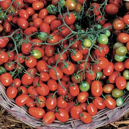 Cherry tomatoes in basket with Tomato Dirt via Seed Savers Exchange