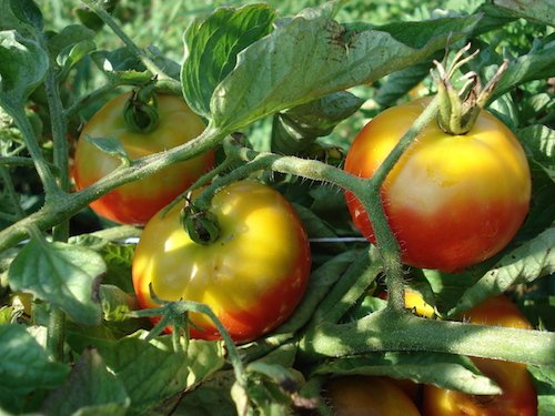 Green shoulders on tomatoes from UConn Lady Bug via Tomato Dirt