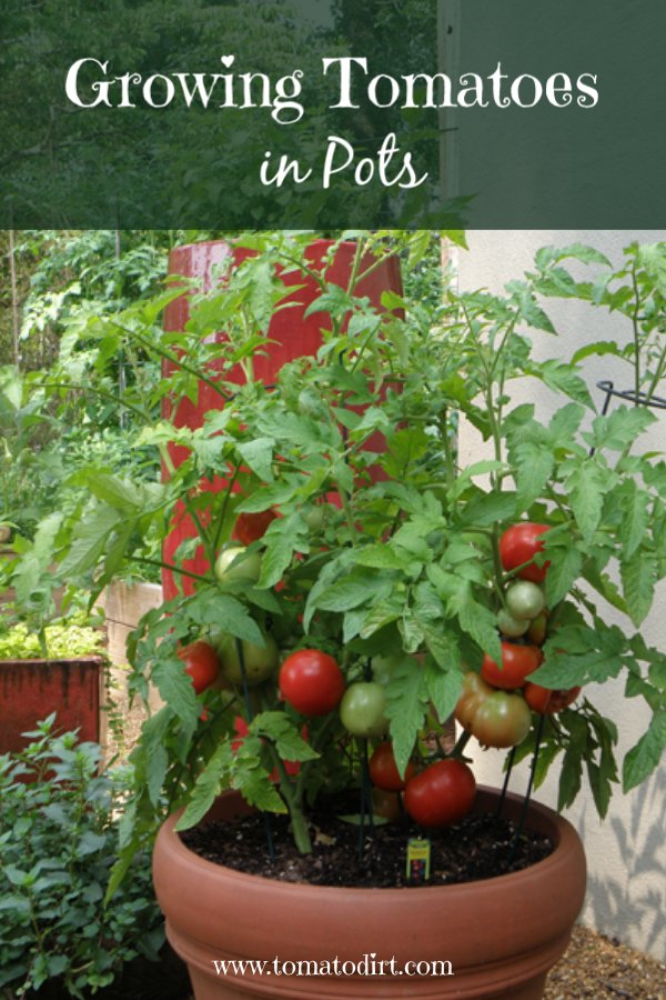 Growing tomatoes in pots: the basics about container tomatoes with Tomato Dirt #GrowingTomatoes