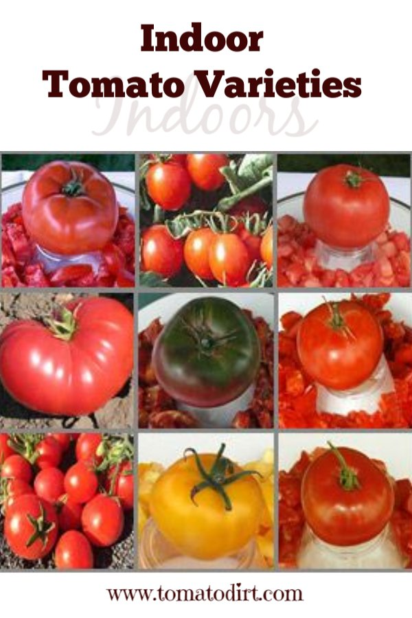 Indoor tomato varieties: how to choose heirlooms and hybrid tomatoes to grow indoors with Tomato Dirt #GrowTomatoes