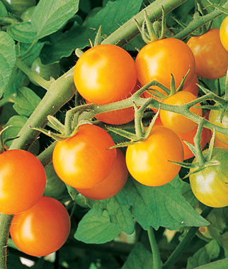 Sungold Cherry Tomatoes with Tomato Dirt