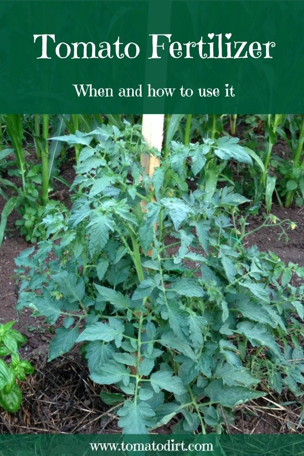 Tomato fertilizer: when and how to use it with Tomato Dirt. #TomatoGrowingTips #GrowingTomatoes