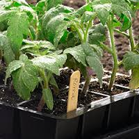 Tomato seedlings in seed trays. Image: Gardener's Supply