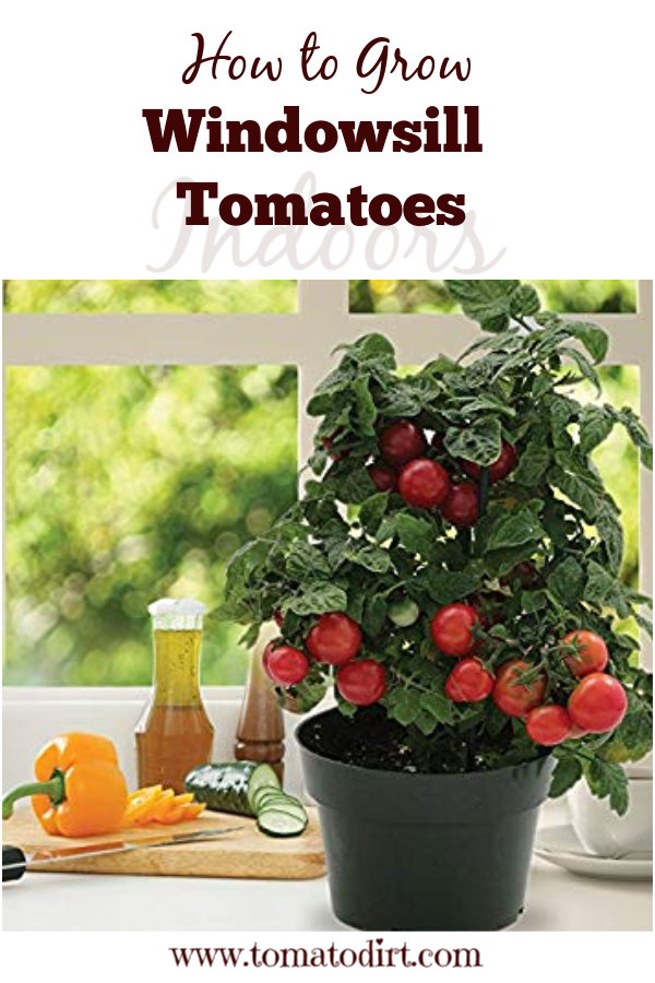 How to grow windowsill tomatoes or start tomatoes indoors on your window sill with Tomato Dirt #GrowingTomatoes #GardeningTips